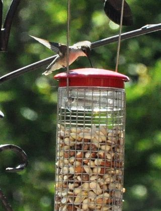 Hummingbird checking peanut feeder