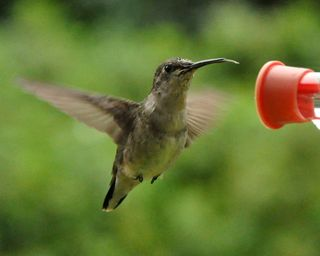 Ruby throated Hummingbird with tongue out