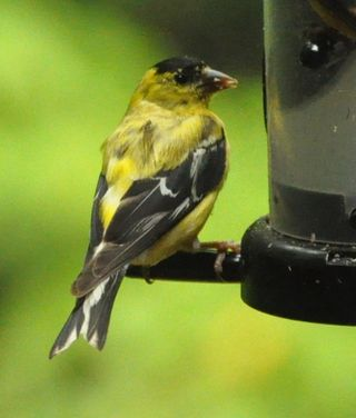 Male American Goldfinch molting