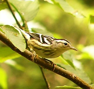 Black and White Warbler P1080312