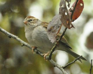 Chipping Sparrow DSC_0982