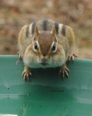 Eastern Chipmunk DSC_2550a