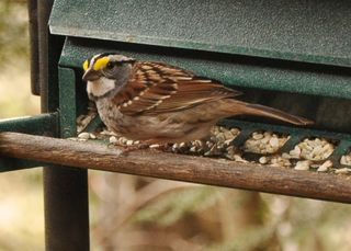 White throated Sparrow DSC_3698