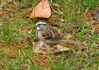 White-throated Sparrow DSC_3609