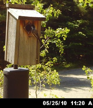 Chickadee at box WSBC4588c