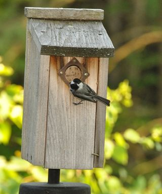 Mom chickadee at box DSC_4206