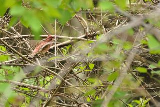 Purple Finch pair DSC_4095