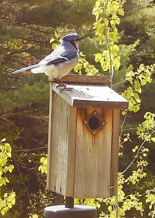 Blue Jay on box WSBC4471