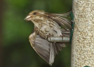 Purple Finch female DSC_4266