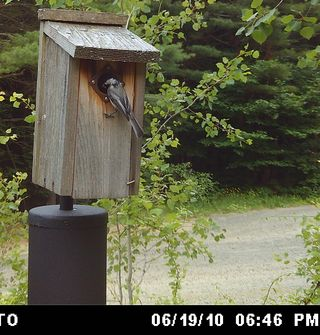 Chickadee at box WSBC0525