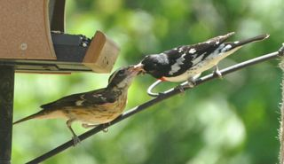 Rose breasted Grosbeak feeding young DSC_2244