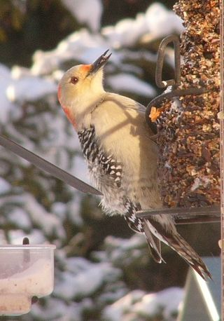 Red-bellied Woodpecker at WBU Supreme Fare seed cylinder