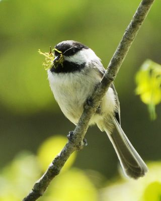 Black-capped Chickadee gathering moss for nest