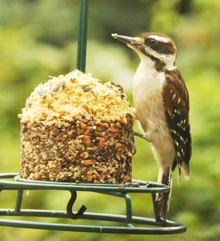 Young male Hairy Woodpecker on Cupcake