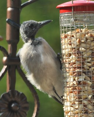 Bald Blue Jay molting head feathers