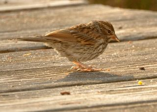 Chipping sparrow young DSC_0349