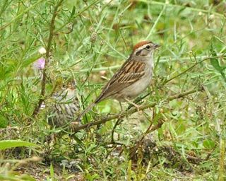 Chipping Sparrow adult with young in grass