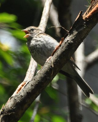 Chipping Sparrow young