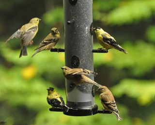 Goldfinch on EcoClean Finch