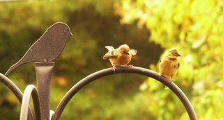 Young begging American Goldfinch