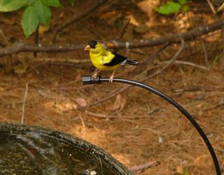 American Goldfinch on dripper