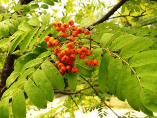 Mt ash berries 07