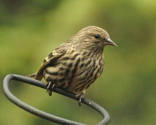 Top 5 Ways To Prepare For Pine Siskins