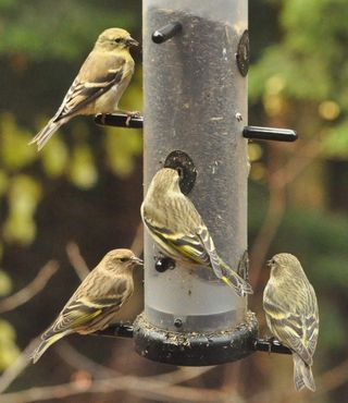 Siskins and goldfinch on EcoClean DSC_1777 web