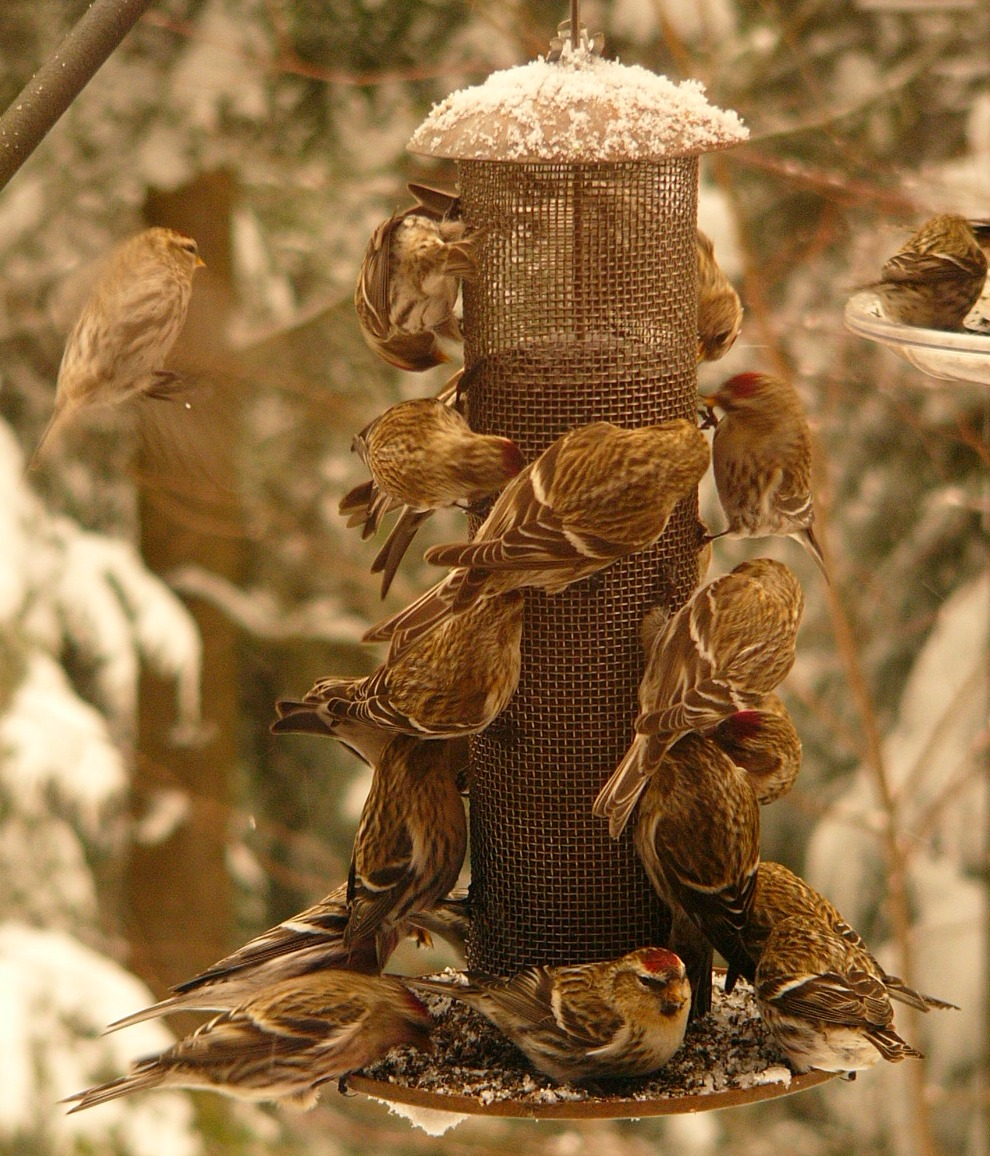 Top 5 Things to Know about Niger Seed - The Zen Birdfeeder