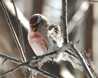 Common Redpoll DSC_6093