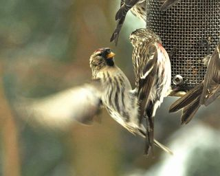 Common Redpolls DSC_6599