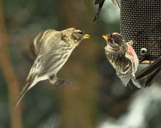Common Redpolls DSC_6596