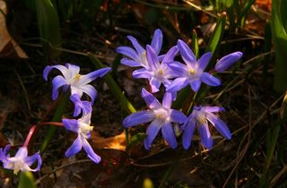 1st Purple Squill 08 P1200555