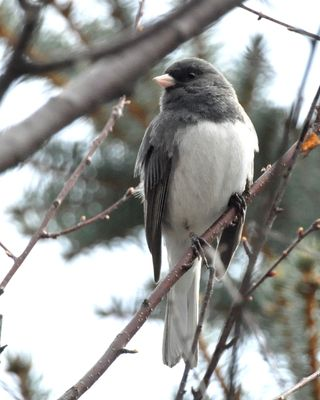 Dark-eyed Junco DSC_7016