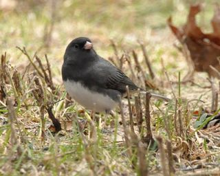 Dark-eyed Junco DSC_7024