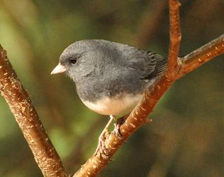 Dark-eyed Junco DSC_1645