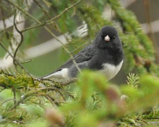 Dark eyed Junco DSC_0938
