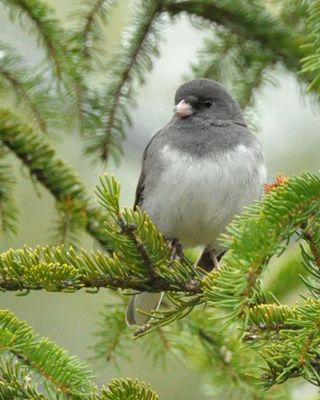 Dark eyed Junco DSC_0934