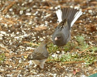 Dark eyed Junco encounter DSC_3261