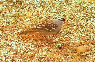 White crowned Sparrow P1210342