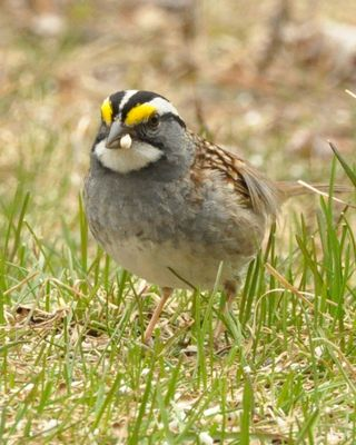 White throated Sparrow DSC_0980