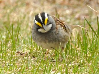White throated Sparrow DSC_0983