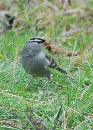 White crowned Sparrow DSC_0222