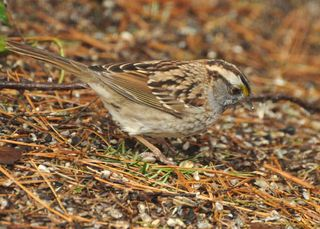 White-throated Sparrow DSC_1052