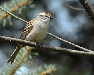 Chipping Sparrow DSC_1189