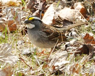 White-throated Sparrow DSC_1180