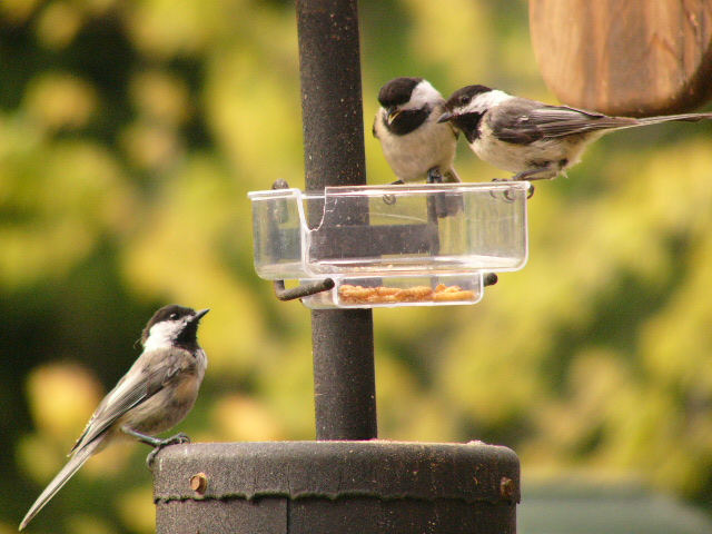 Birds eating mealworms