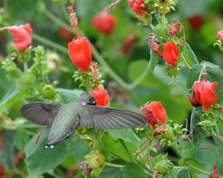 Black-chinned Hummingbird DSC_0378