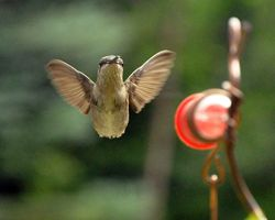 Ruby-throated Hummingbird DSC_5208