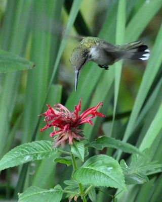 Ruby-throated Hummingbird at Bee Balm DSC_1122